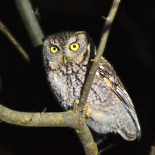 Eastern Screech-Owl, Photo: Ron Wrucke