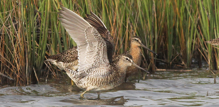 Short-billed Dowitchers