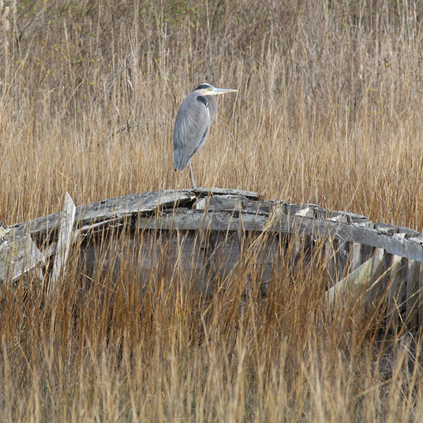 """VILLAGE OF OYSTER - In Brief: One of a half-dozen remaining """"seaside"""" villages, worth a visit for its historical notoriety as much as for birding, which is most productive in winter and during migration seasons.Access: Public settlement. A memorable port-a-john can be found at the end of Crumb Hill Road, at the public boat ramp.Photo: Great Blue Heron"""