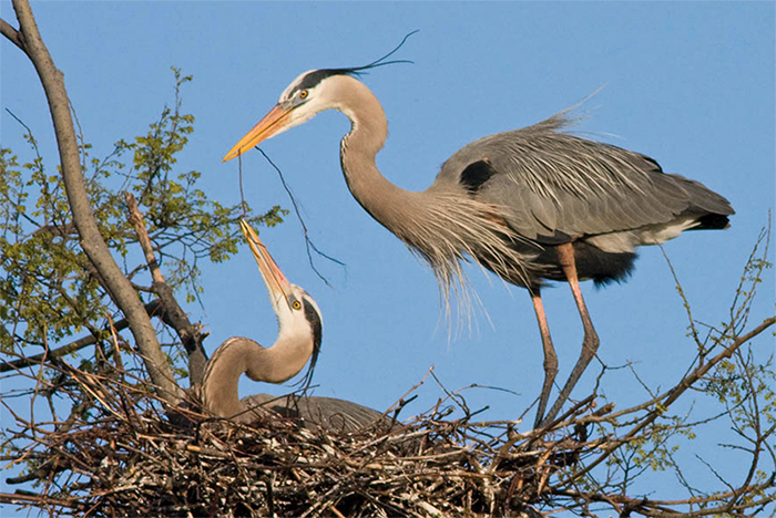 Great Blue Herons, Photo: Robert W. Schamerhorn