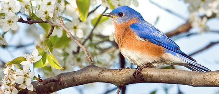 Eastern Bluebird, Photo: Robert W. Schamerhorn