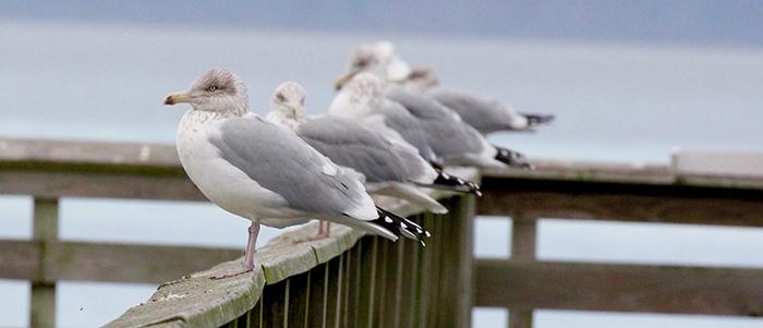 Herring Gulls.