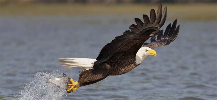 Bald Eagle. Photo by, Robert W. Schamerhorn