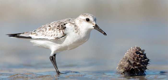 Sanderling, Photo: Robert W. Schamerhorn