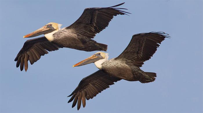 Brown Pelicans, Photo: Robert W. Schamerhorn
