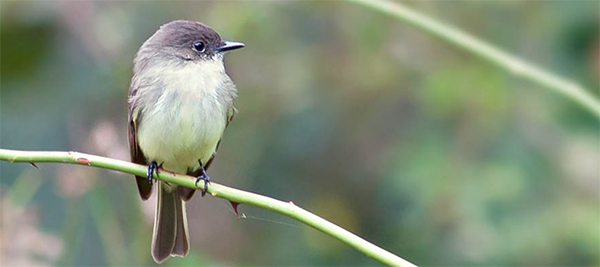 Eastern Phoebe, Photo: Robert W. Schamerhorn