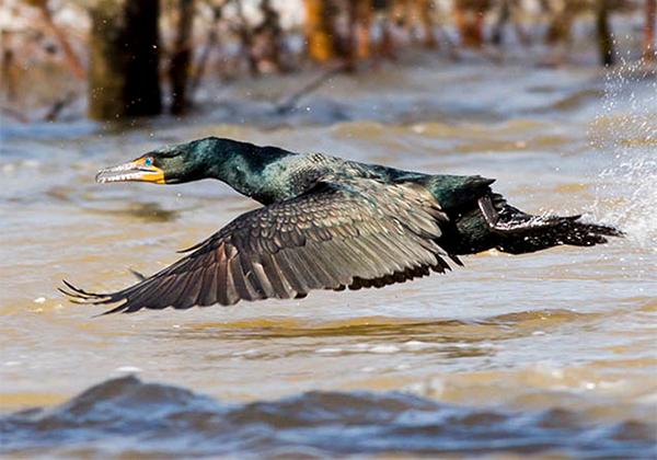 Double-crested Cormorant, Photo: Robert W. Schamerhorn