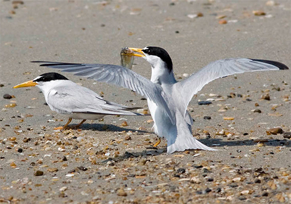 Least Terns, Photo: Robert W. Schamerhorn