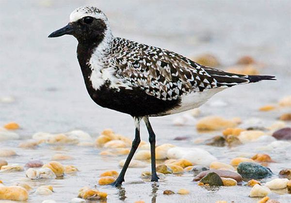 Black Bellied Plover, Photo: Robert W. Schamerhorn