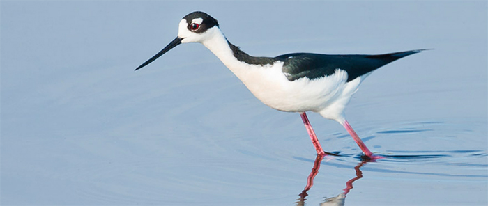 Black-necked Stilt, Photo: Robert W. Schamerhorn