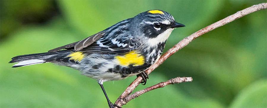 Yellow-rumped Warbler, Photo: Robert W. Schamerhorn