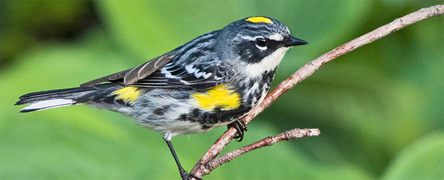 Yellow-rumped Warbler, Photo: Robert W. Schamerhorn