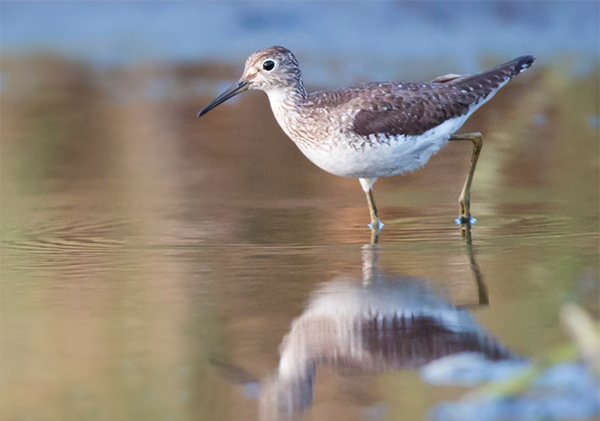 Solitary Sandpiper, Photo: Robert W. Schamerhorn