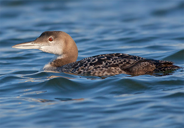 Common Loon, Photo: Robert W. Schamerhorn