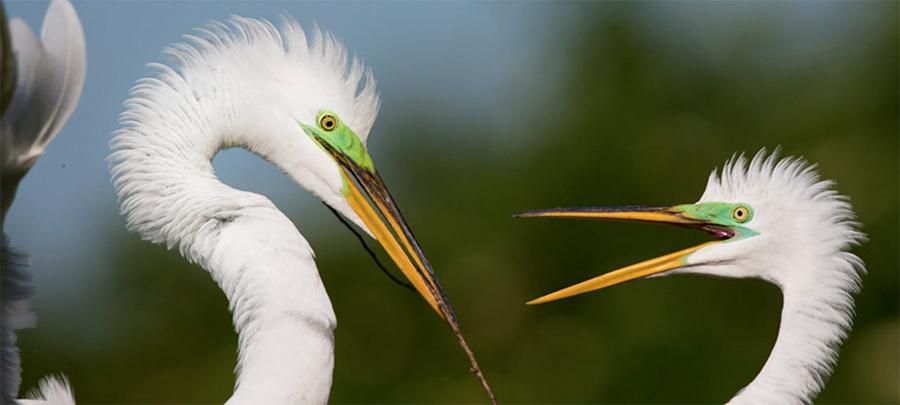 Great Egrets. Photo by Robert W. Schamerhorn