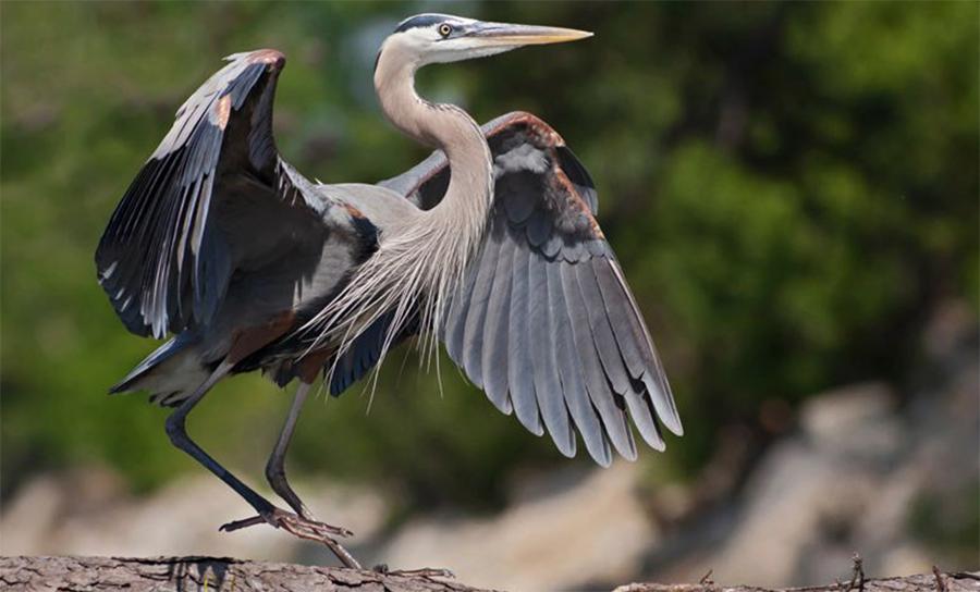 Great Blue Heron, Photo: Robert W. Schamerhorn