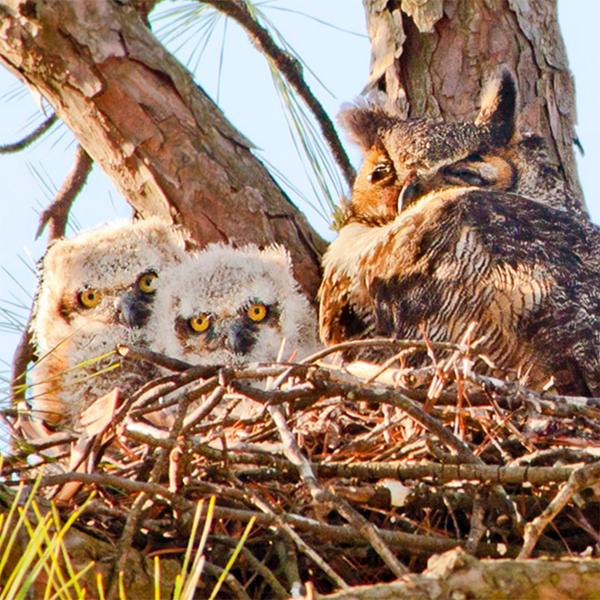 Great Horned Owl, Photo by Robert W. Schamerhorn