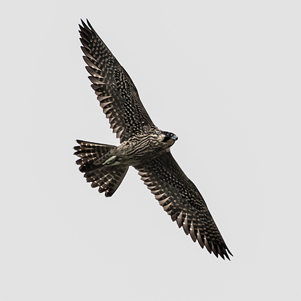 Peregrine Falcon by Steve Thornhill,  Courtesy CVWO