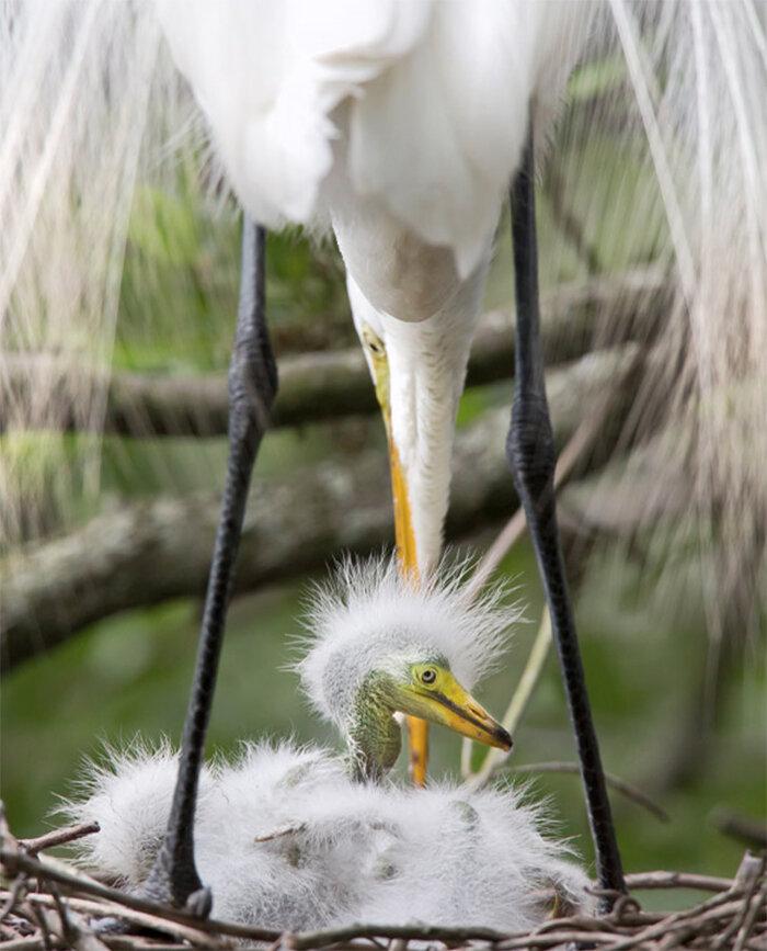 Great Egret, Photo: Robert W. Schamerhorn