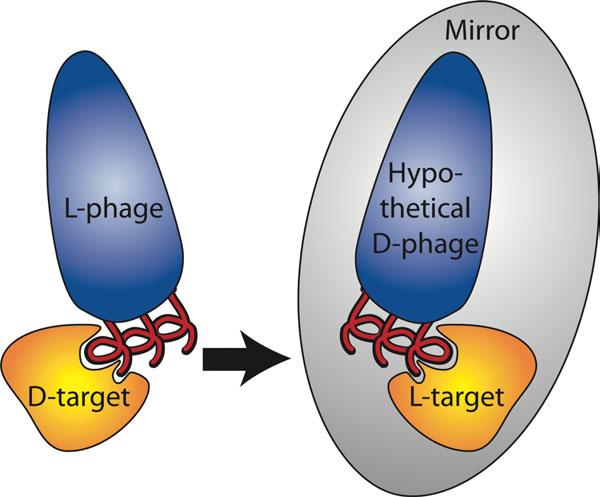 Mirror-Image-Phage-Display_Weinstock-2012.jpg