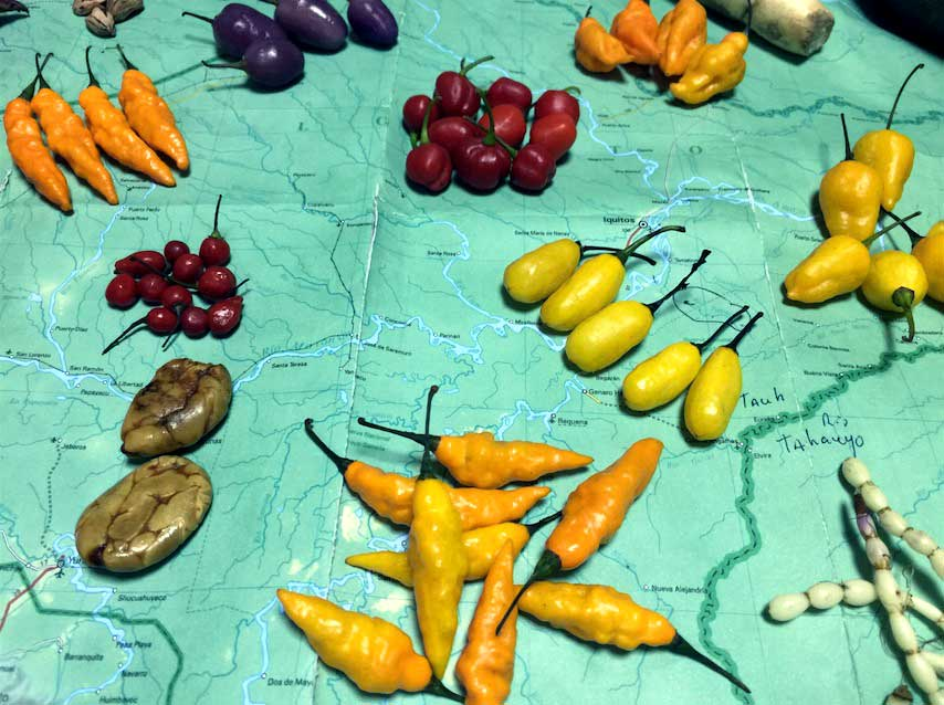 A selection of various landraces of Capsicum sp., fruits collected in the environs of Iquitos, Peru. Many of these peppers are maintained by small landowners who continually save their seeds and replant them. the genetic diversity is quite amazing, with a varied assortment of colors shapes and heat. The majority of these peppers have generic names, but expects they are unique.