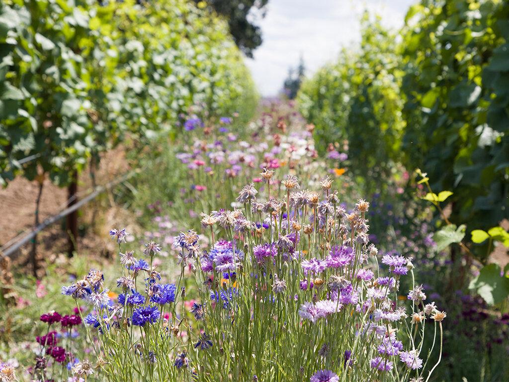 Stoller Family Estate Vineyard Cover Crops.jpg