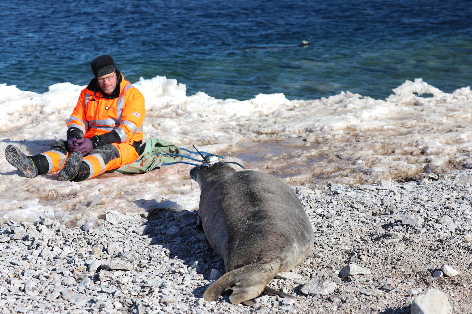 Lars Boehme sits between the second tagged seal and the water, keeping an eye on her as she awakens. The first tagged seal swims past in the background.  (Permit number for wildlife interactions: fco/uk permit no. 29/2018)
