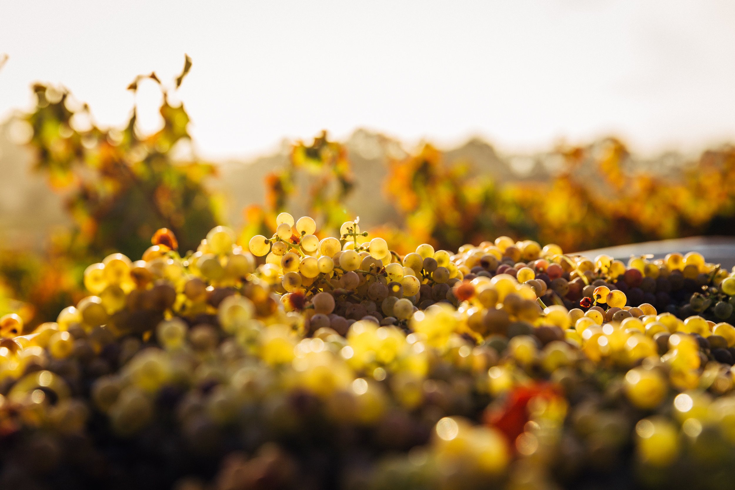 wine grapes piled in a sunny vineyard