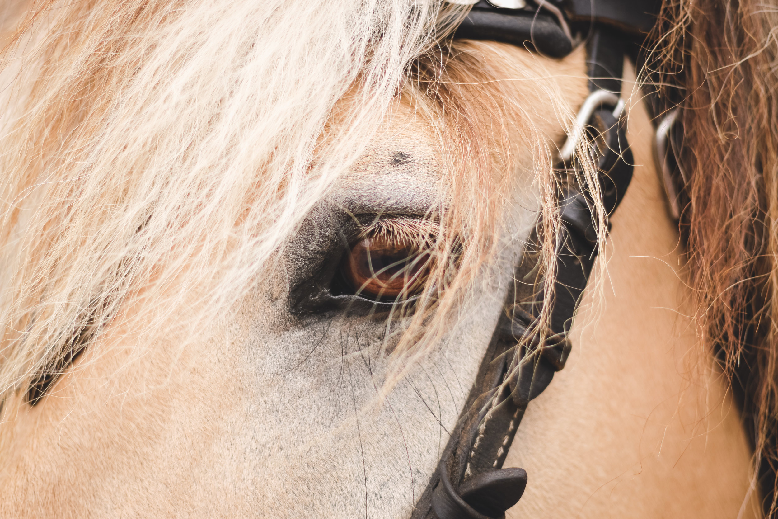 close up of a horse's eye with bridle