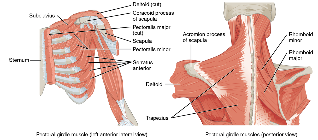 Img -  https://upload.wikimedia.org/wikipedia/commons/9/91/1118_Muscles_that_Position_the_Pectoral_Girdle.jpg