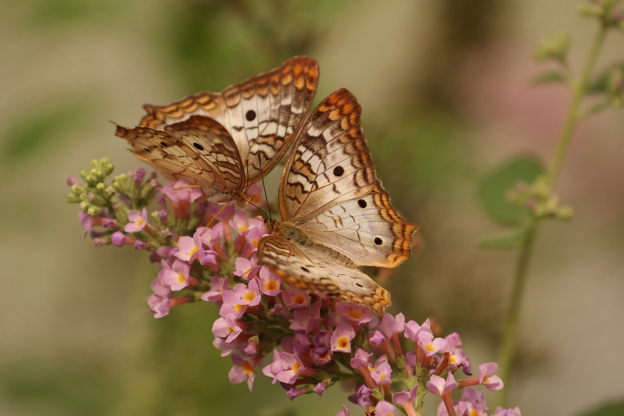 butterfly-macro-insects-nature.jpg
