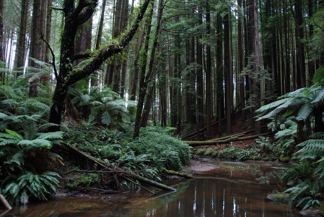 rccol-fr-CalifornianRedwoods-GreatOtwayNationalPark_087.jpg