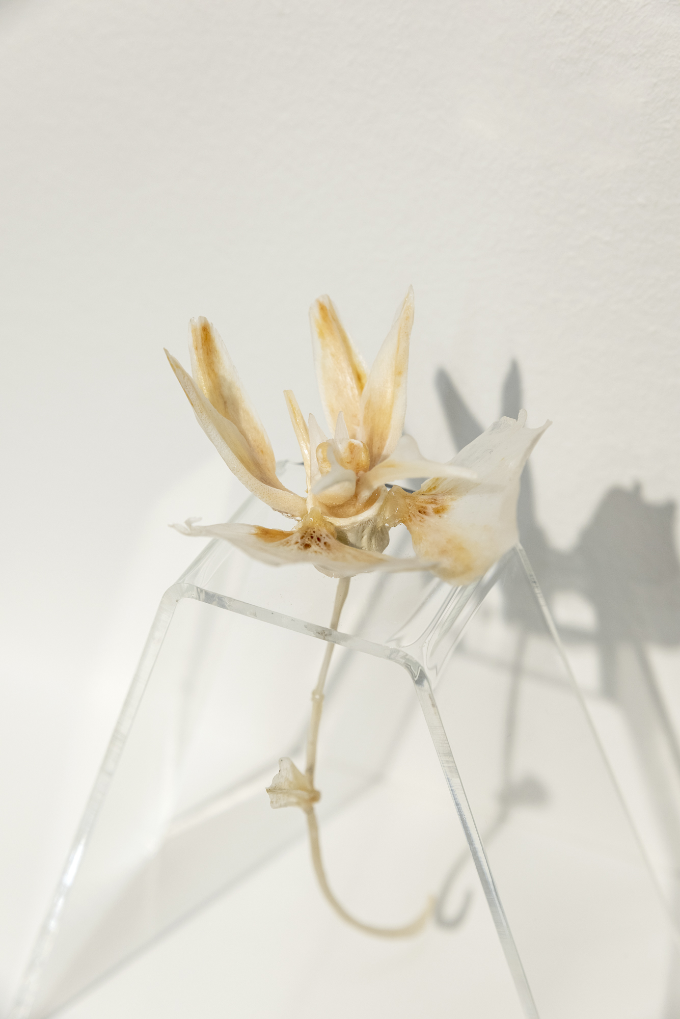 The Orchid , 2010 Nina Liebenberg Fishbones from a variety of species