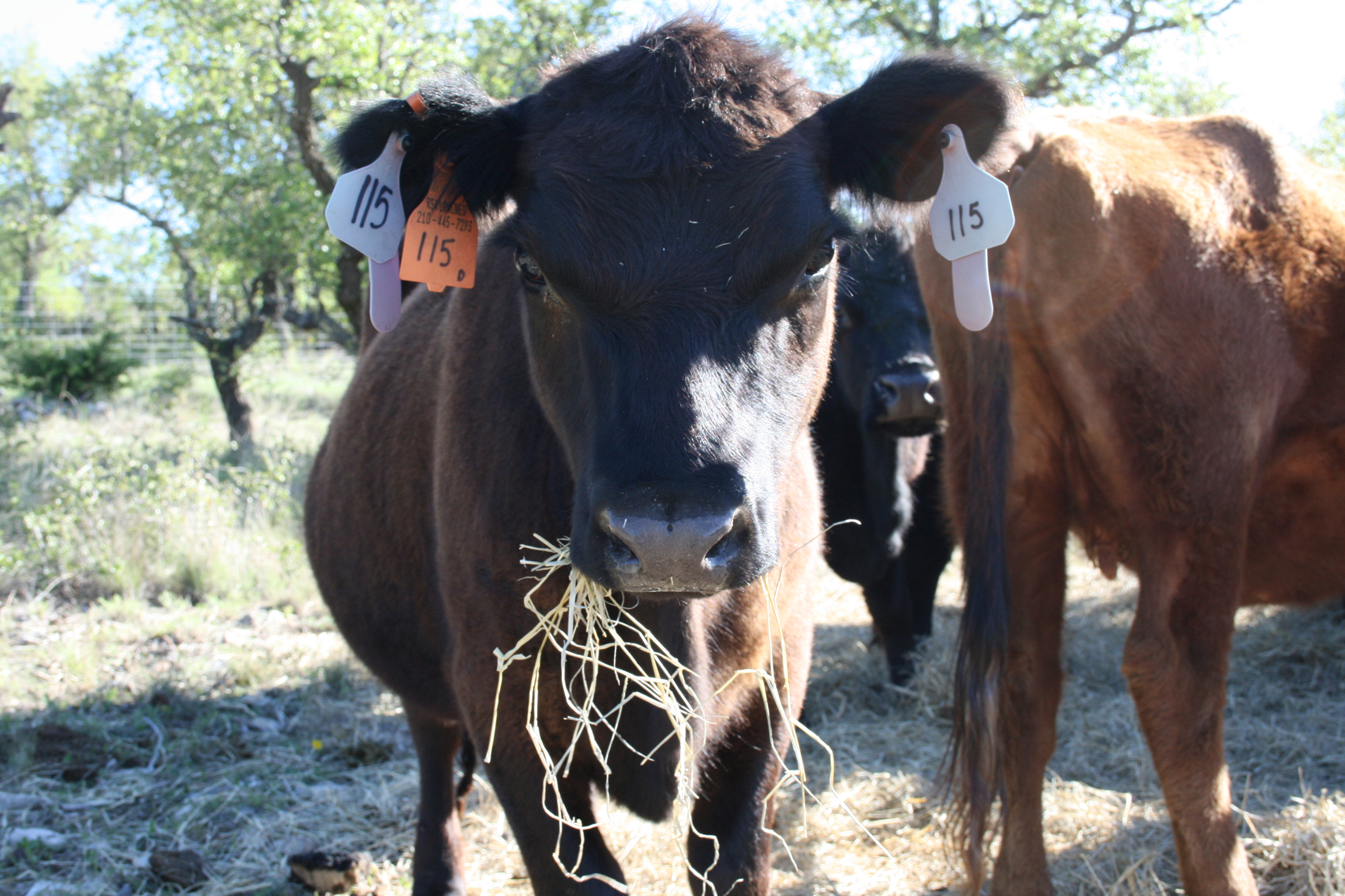 More Info - Find out about our ranch, mission, our grazing methods, and the results of our adoption of American Aberdeen cattle.