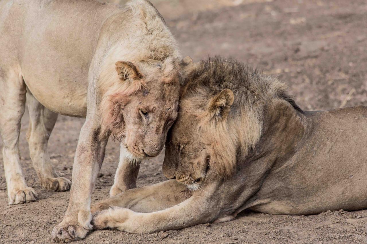 LionBrothers.jpeg