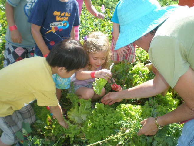 Teacher and group of children picking lettuce