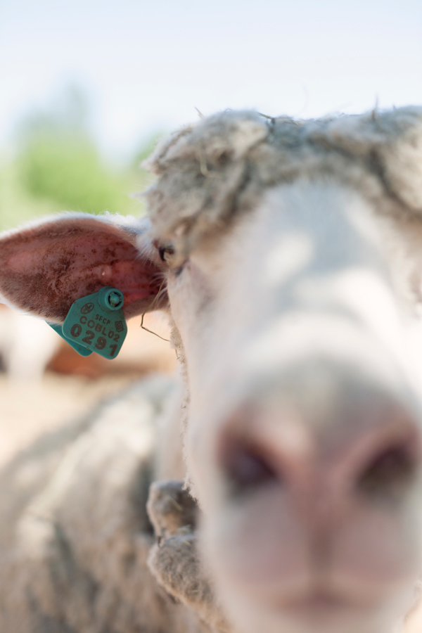 Adult Sheep with green eartag almost touching the camera with its nose.