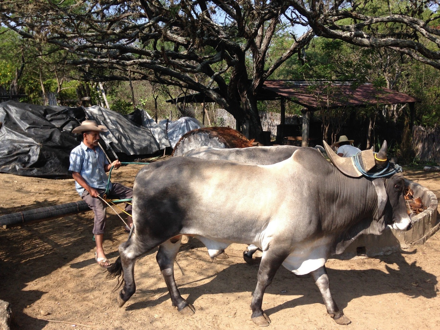 Bulls Pulling the Tahona used to Crush the Agave