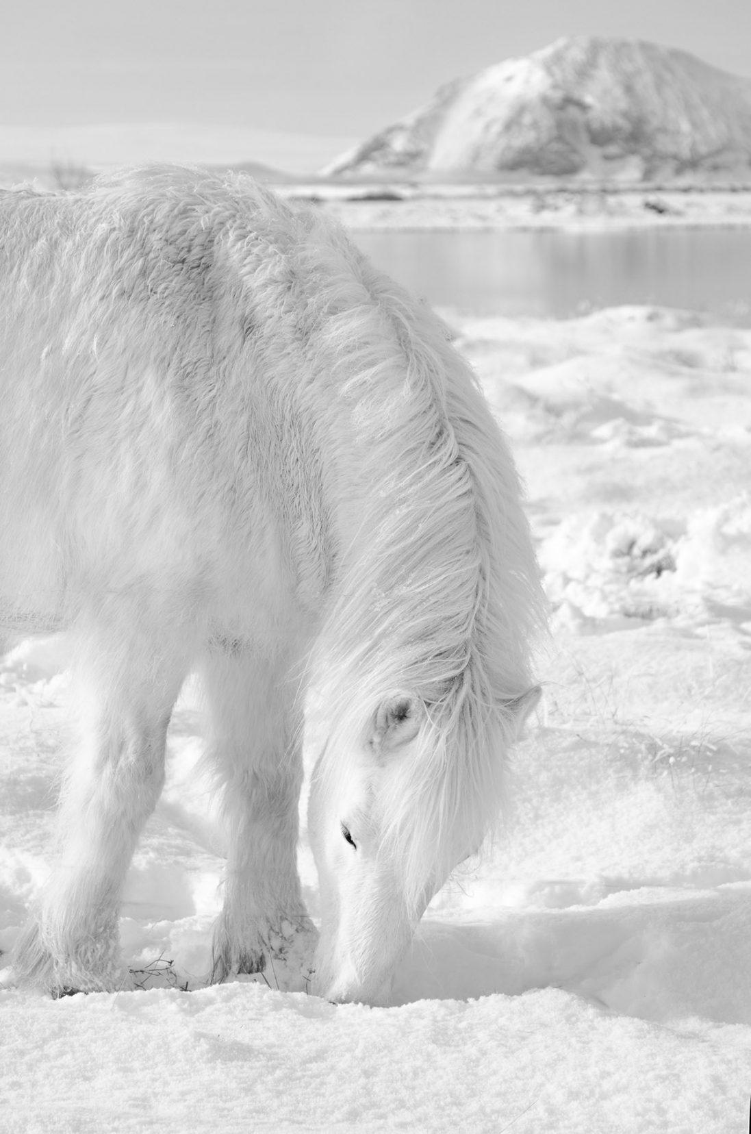 Icelandic-Horse-March-09-2018-15-31-22-Edit.jpg