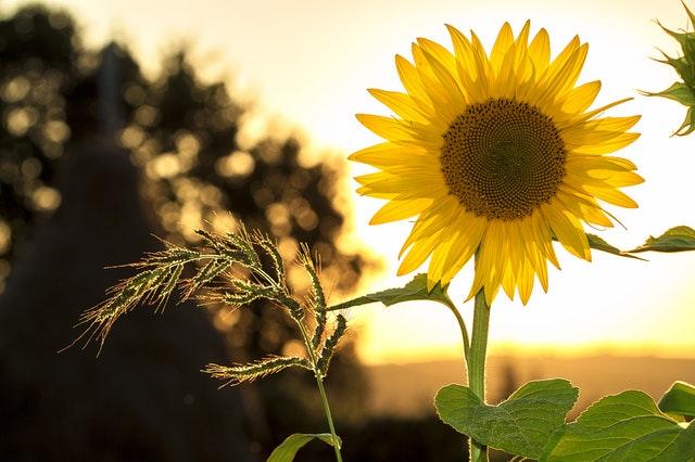 strong as a sun flower.jpg