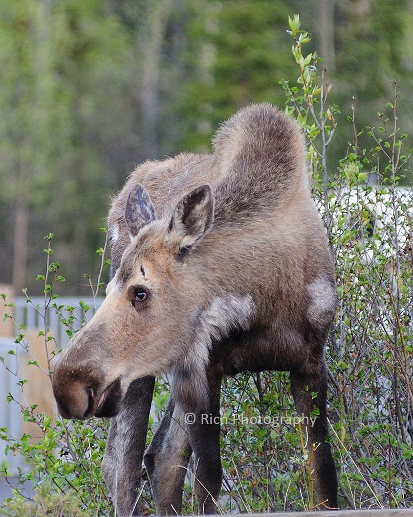 127 Different up close moose DSC_8424 copy.jpg