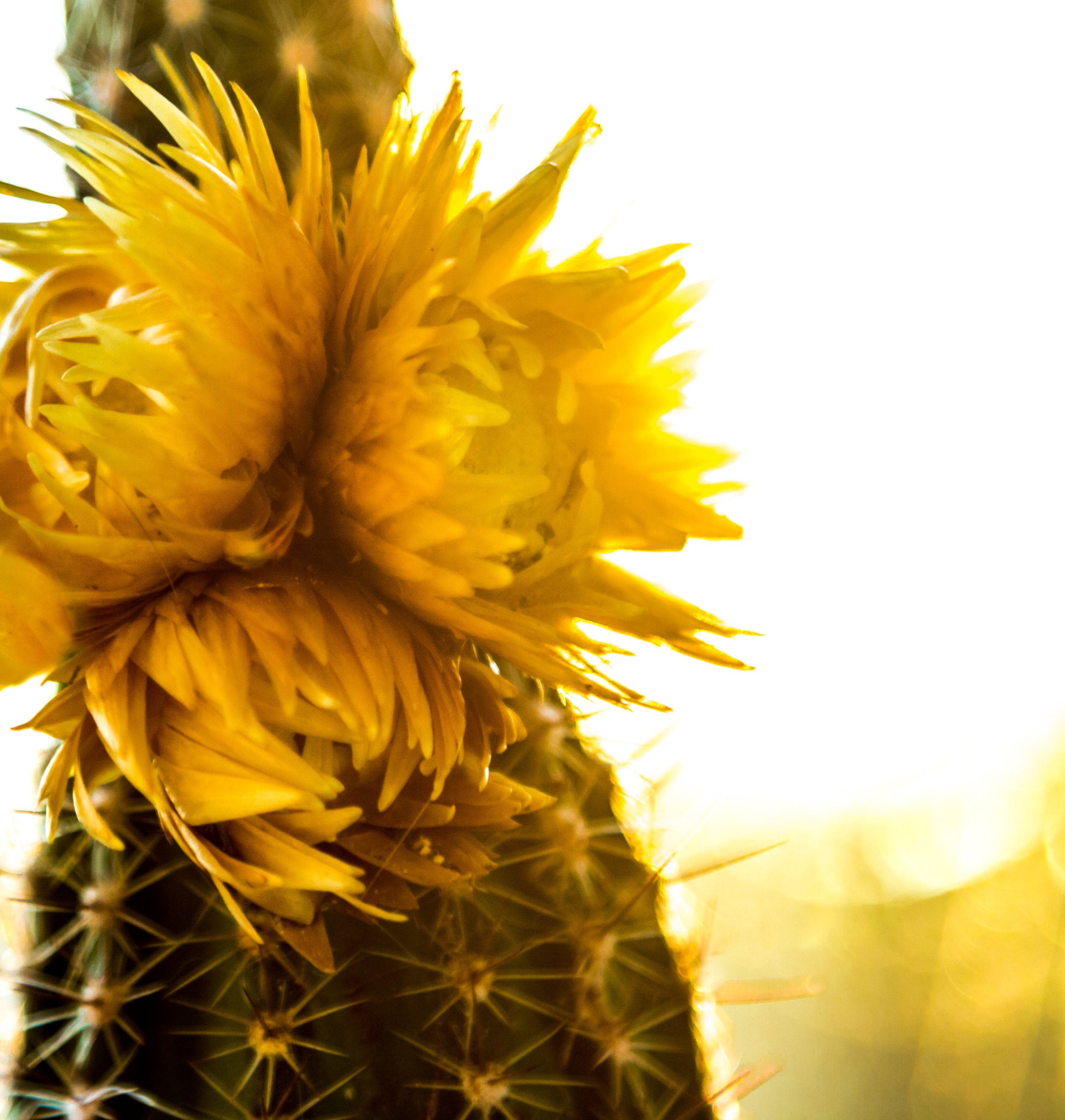 Cactus Flower2.jpg