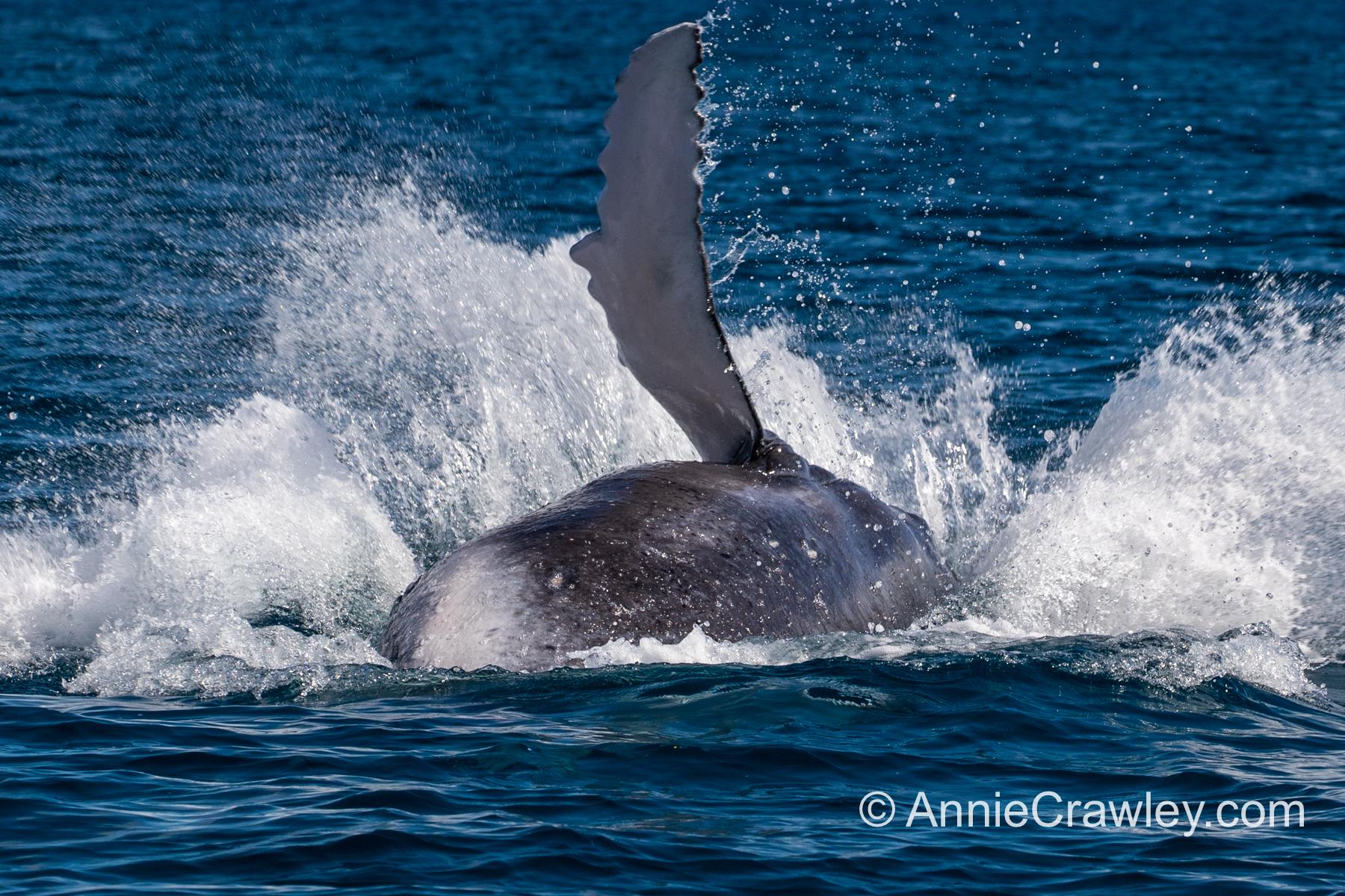 Tonga Humpback Whales Annie Crawley-0463.jpg