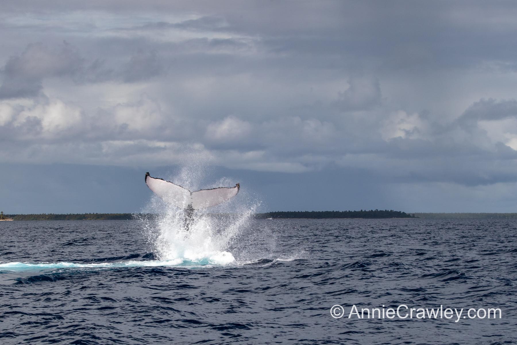 Tonga Humpback Whales Annie Crawley-9721-2.jpg