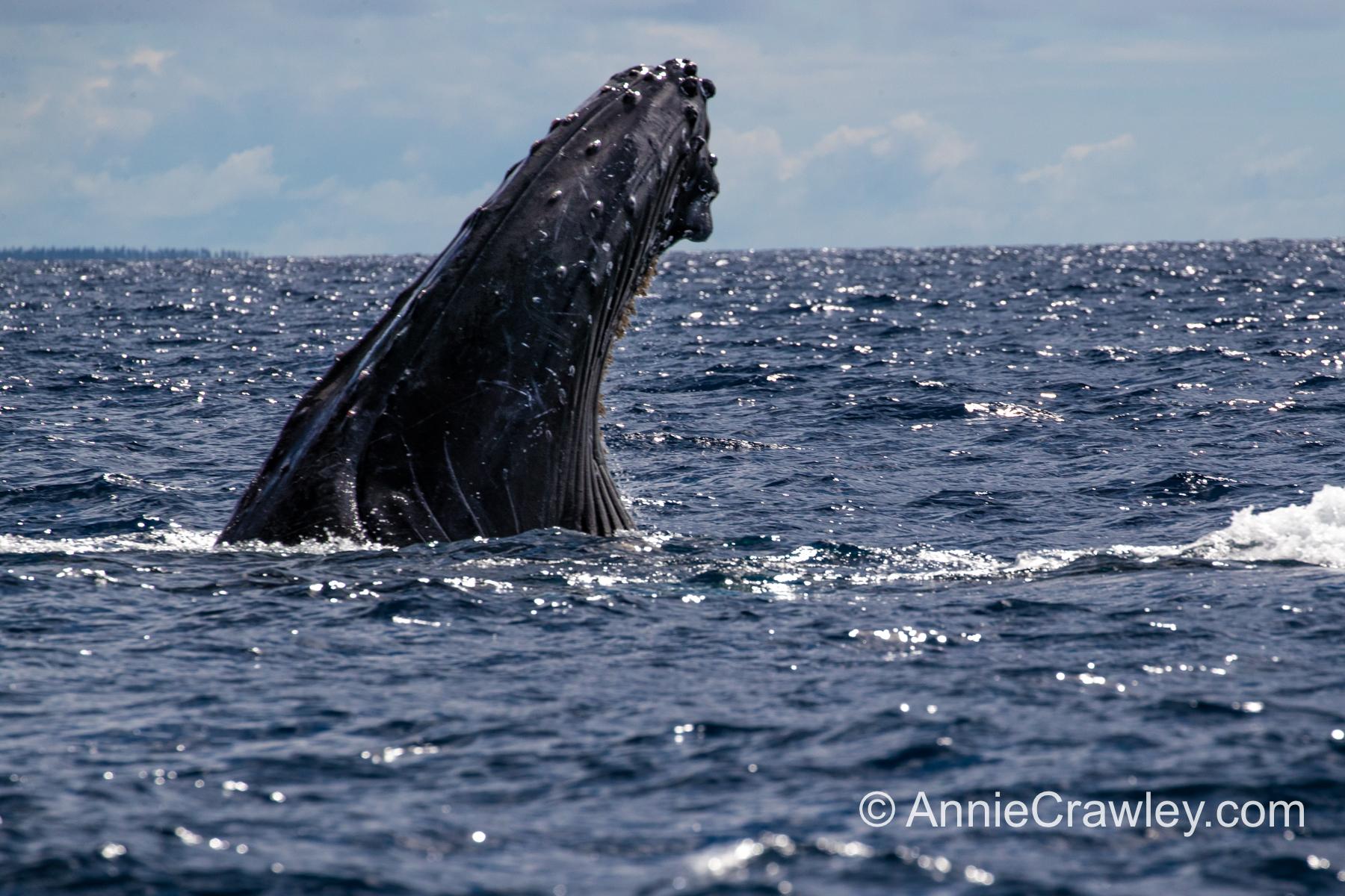 Tonga Humpback Whales Annie Crawley-9851.jpg