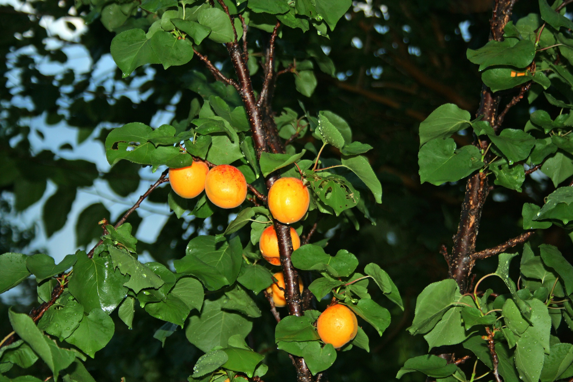 Apricots - Moorpark • Harcot • White UmeGoldkist • Blenheim• Puget GoldPink Ume • Star-kar-parehWenatchee • Early AutumnHarglow• Tomcot • Puget Gold