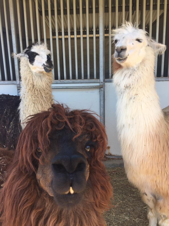 The camelids - two llamas and one alpaca