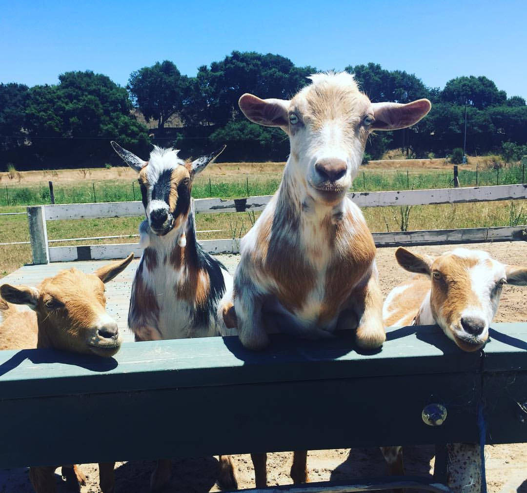 Nigerian dwarf goats - the cutest milk makers ever