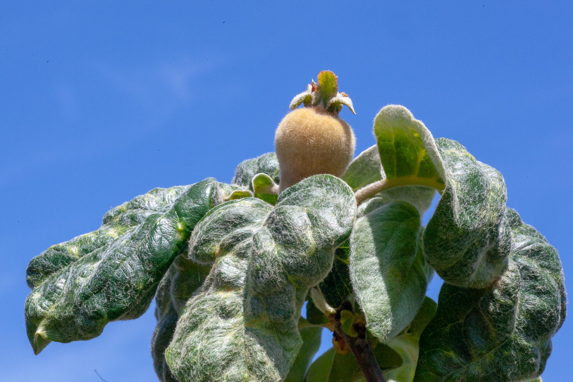 Fuzzy Aromatnaya quince, no thinning necessary