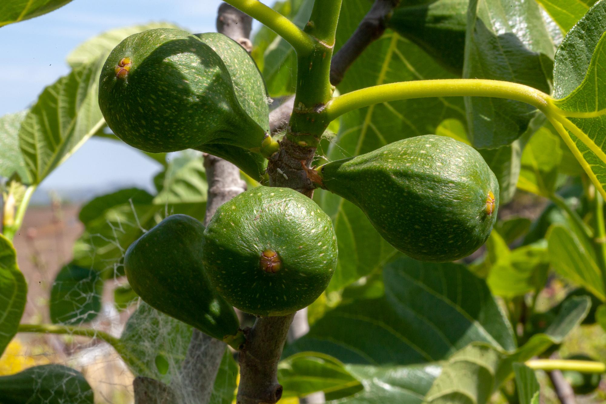 Peter's Honey fig setting a nice breba (spring) crop